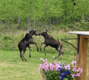 moose-playing.jpg